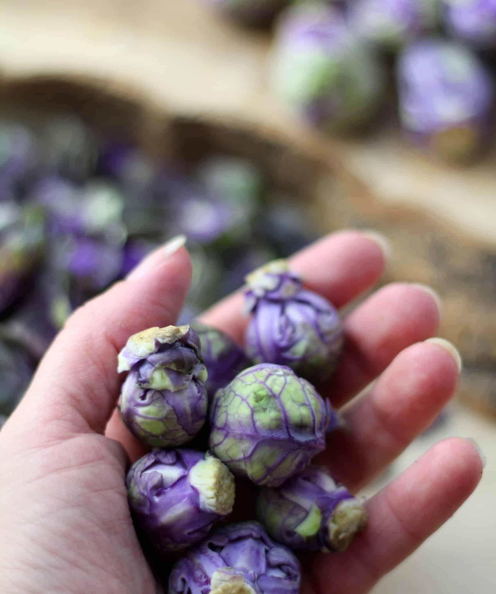 paarse-spruiten-2
